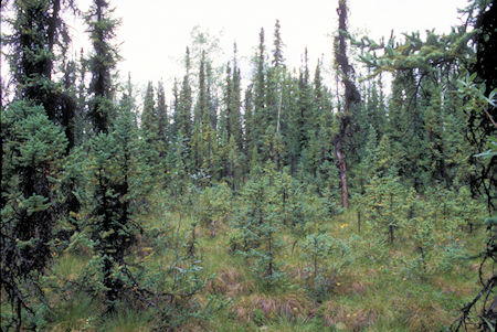 Black Spruce Forest, Tetlin National Wildlife Refuge, Alaska