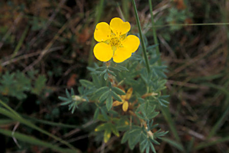 Bushy Cinquefoil, Black Spruce Forest, Tetlin National Wildlife Refuge, Alaska