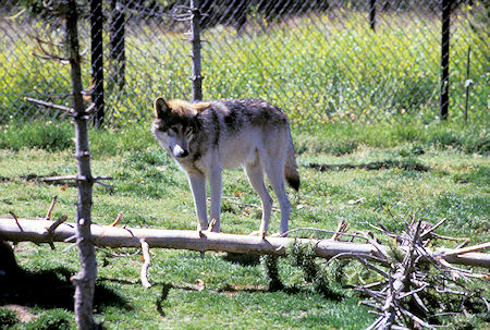 Wolf at Grizzly Discovery Center, West Yellowstone, Montana