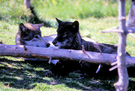 Wolves at Grizzly Discovery Center, West Yellowstone, Montana