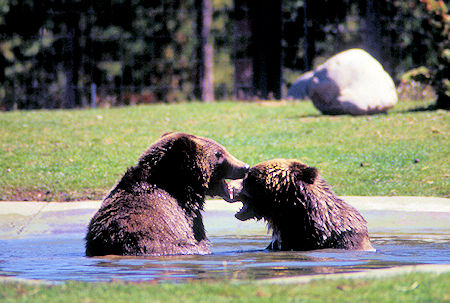 Young Grizzly Bears, Grizzly Discovery Center,<br />West Yellowstone, Montana
