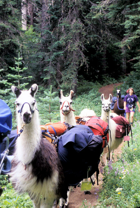 Llama Packing Family, Indian Heaven Wilderness